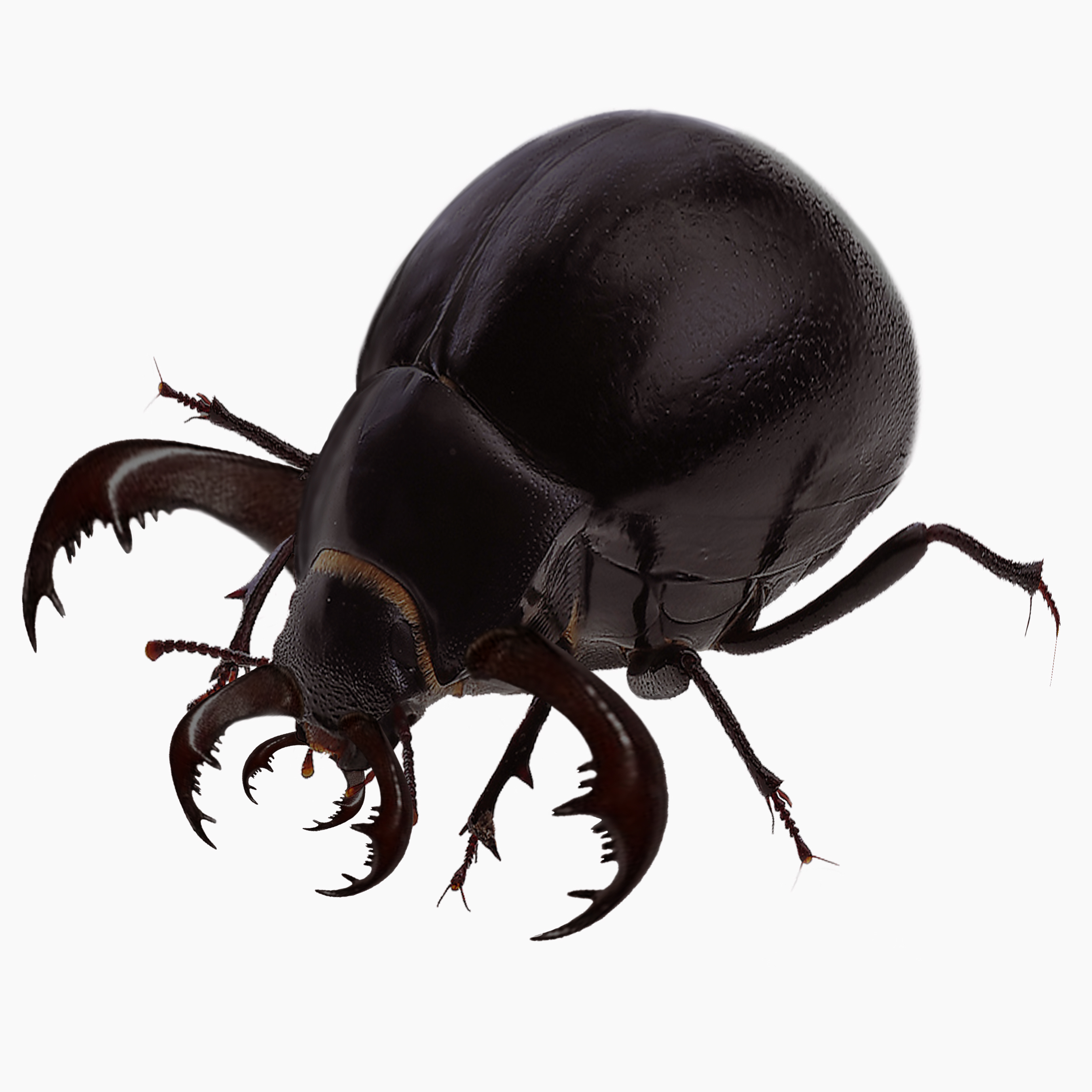 Shade Beetle
